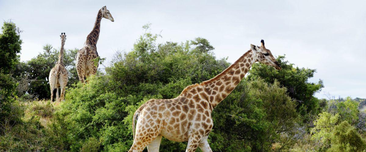 Südafrika – Giraffen © www.dein-suedafrika.de