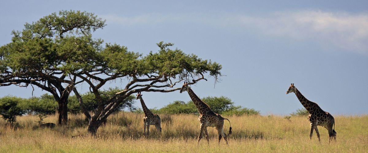 Giraffen in Südafrika im Krügerpark