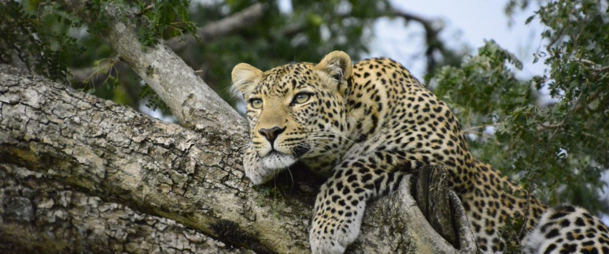 Leopard in Kenia ©reisewelt Teiser & Hüter GmbH