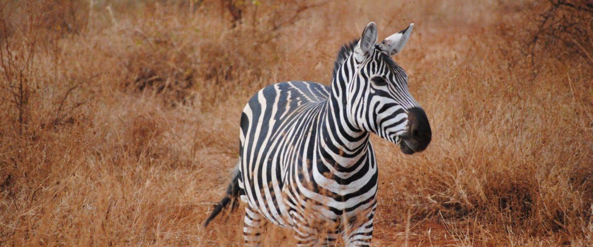Zebra in Kenia ©reisewelt Teiser & Hüter GmbH