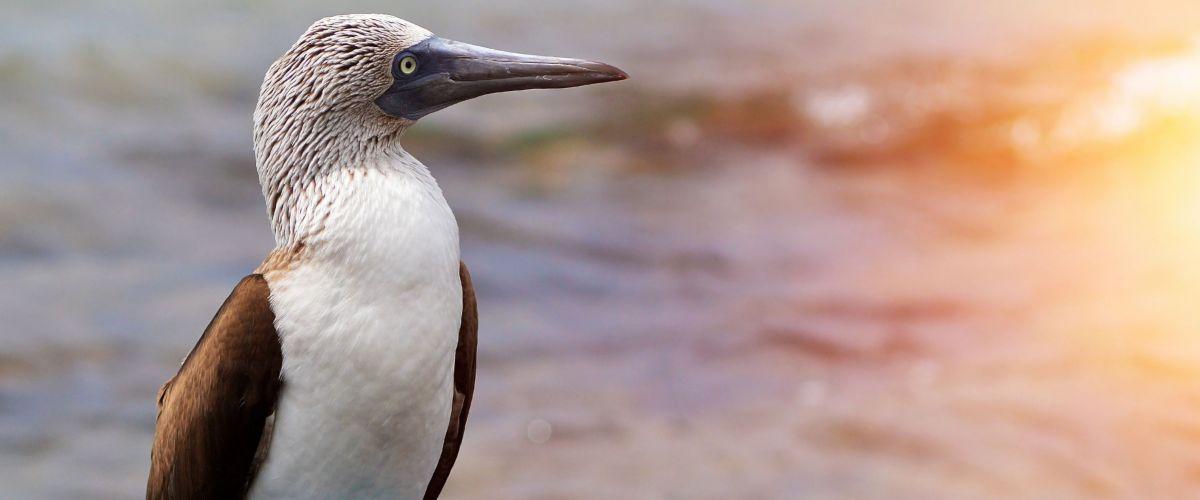 Galapagos, Blaufußtölpel © Fotolia Premium
