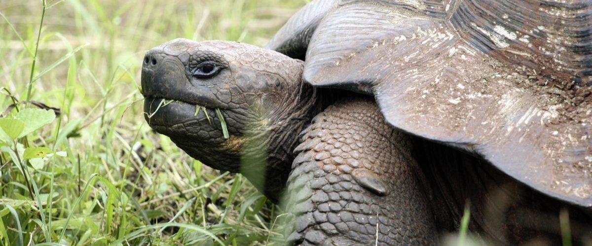 Galapagos, Schildkröte
