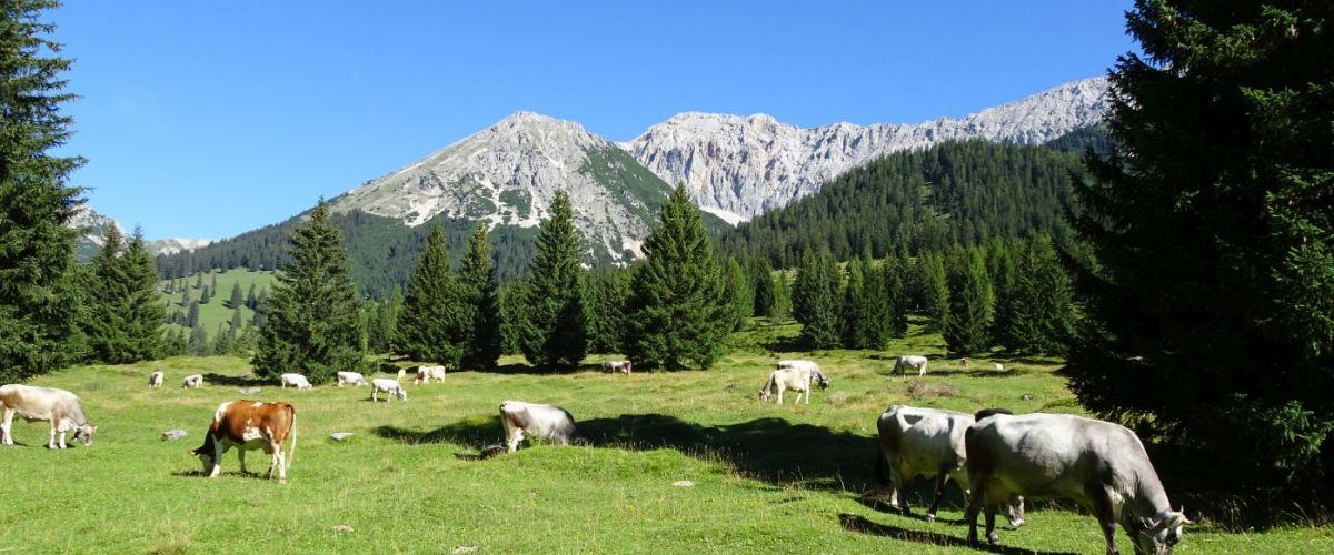 Zugspitze_Gaistal_Kühe