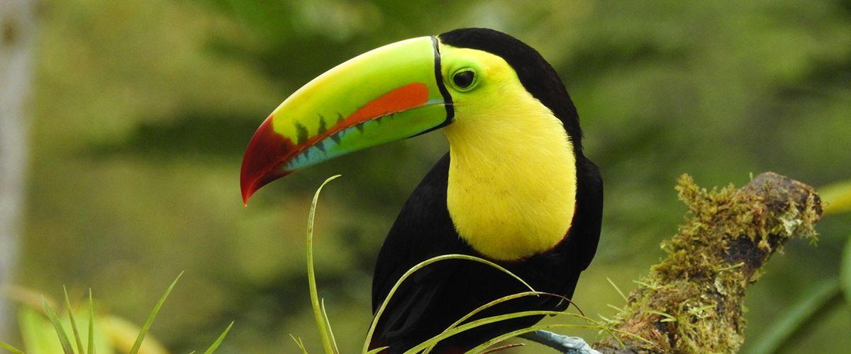 Costa Rica - Tukan © Reisewelt Teiser & Hüter GmbH