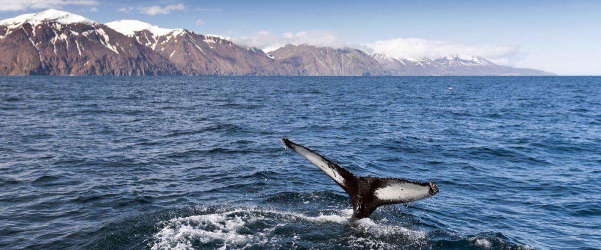Whale Watching (c) Fotolia_Nazzu