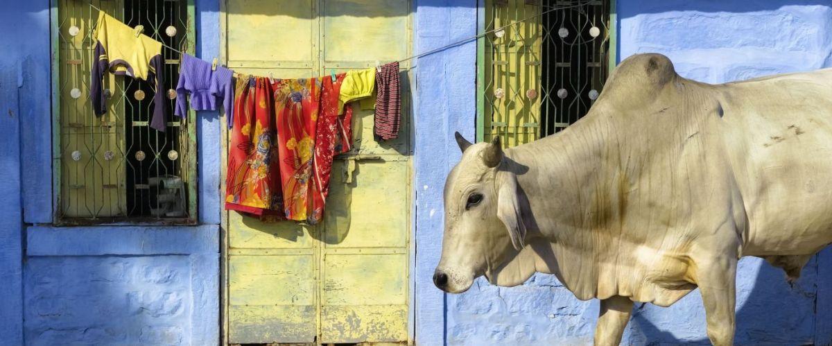 Heilige Kuh © Fotolia_Banana Republic