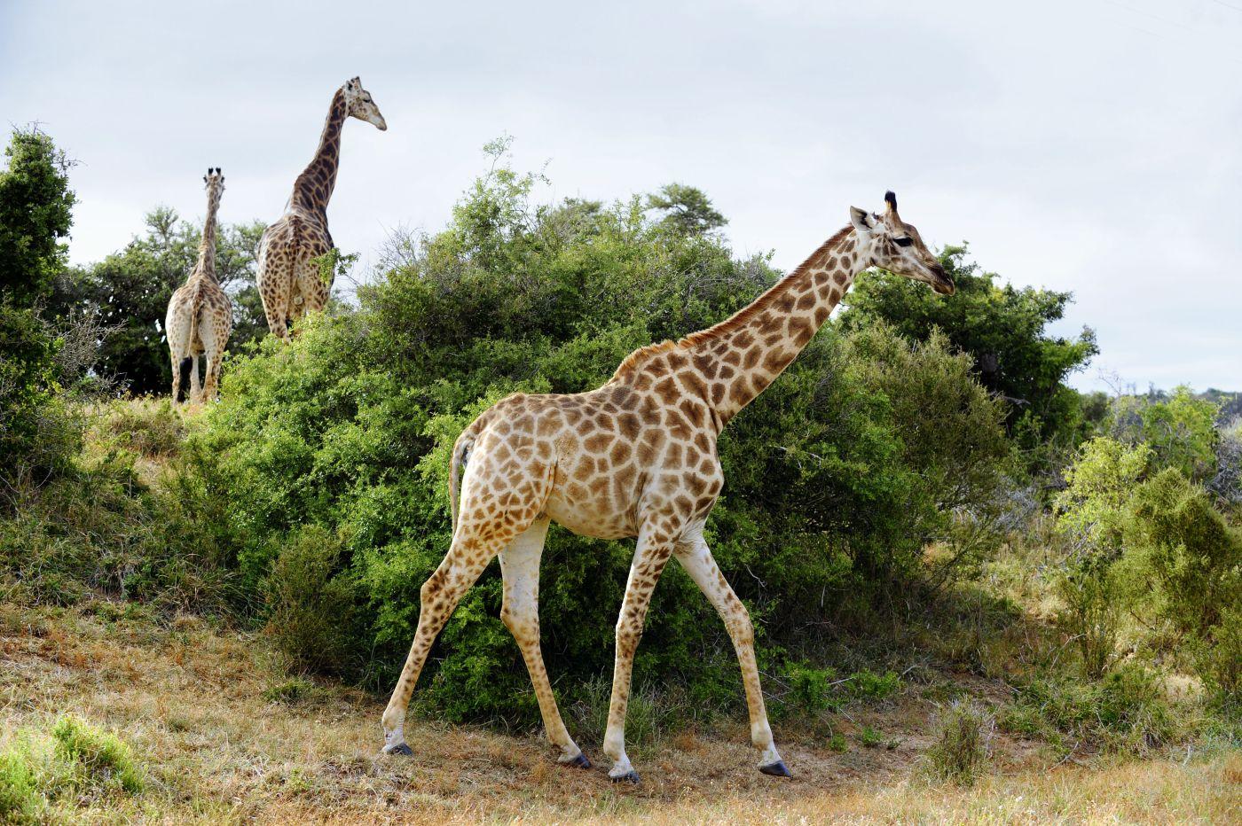 Giraffen (c) Marco Polo Reisen GmbH_www dein-suedafrika de
