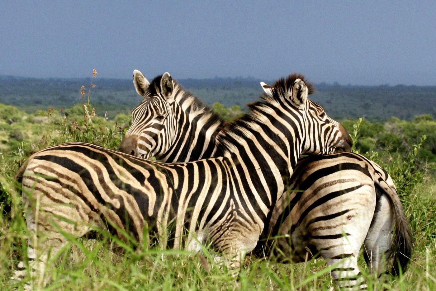 Zebras (c) Marco Polo Reisen GmbH _www dein-suedafrika de