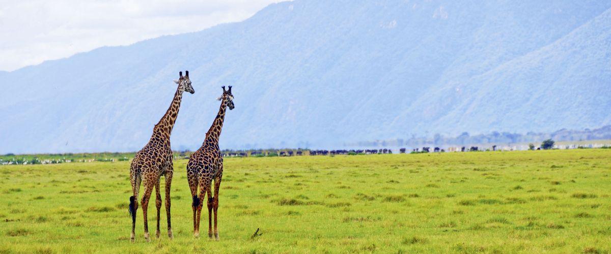 Giraffen © Fotolia_Oleg Znamenskiy