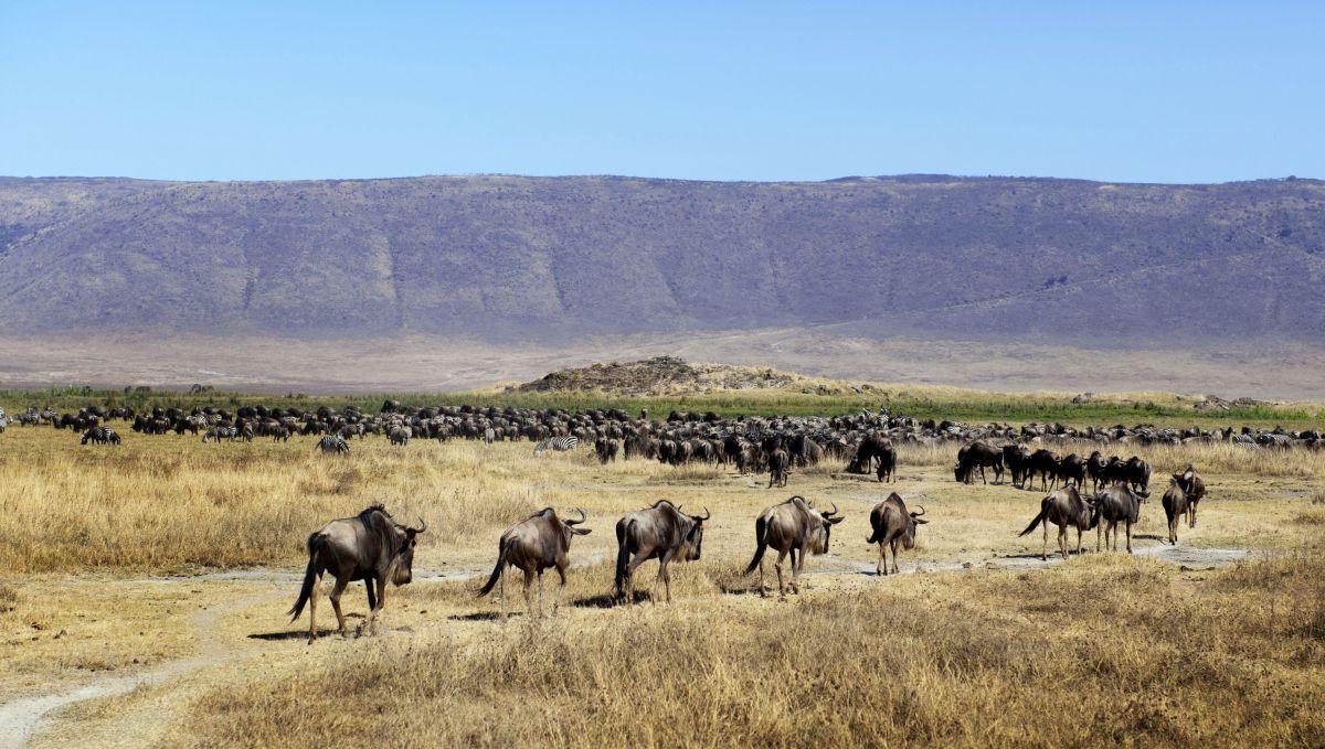 Gnu-Herde © Fotolia_Irena Kofmann