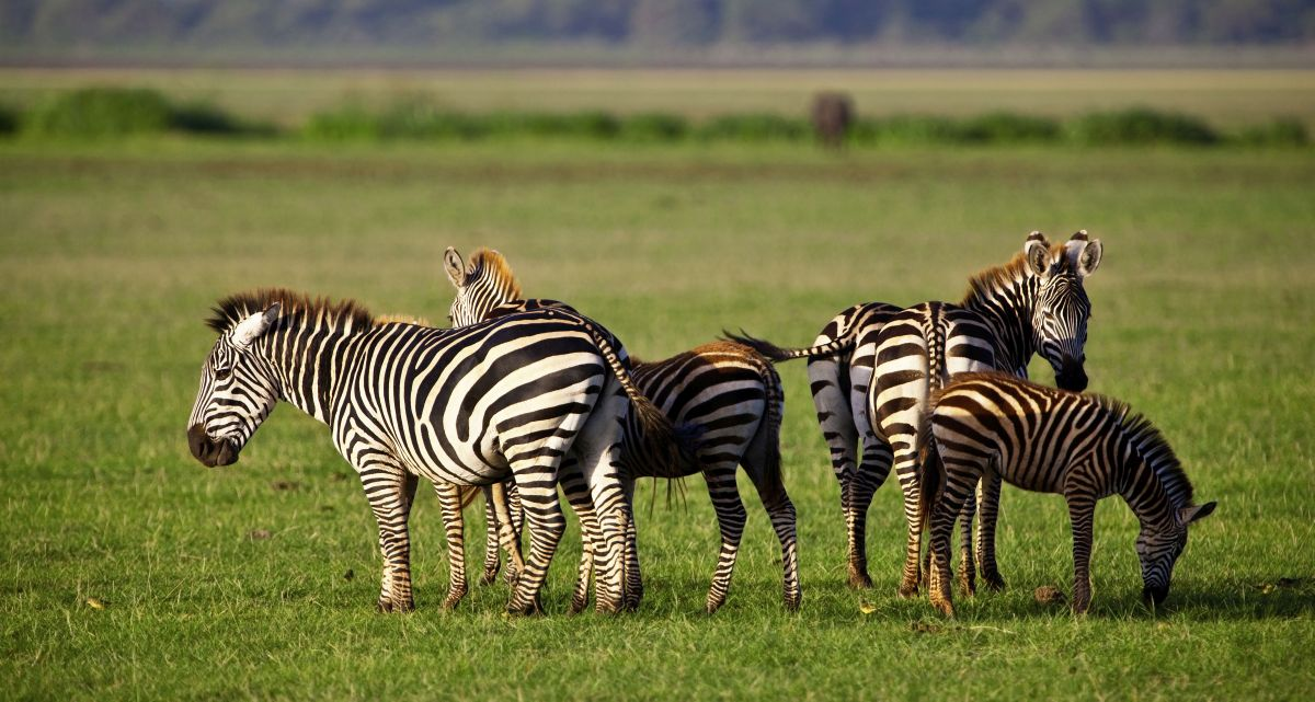 Zebras © Fotolia_Palenque