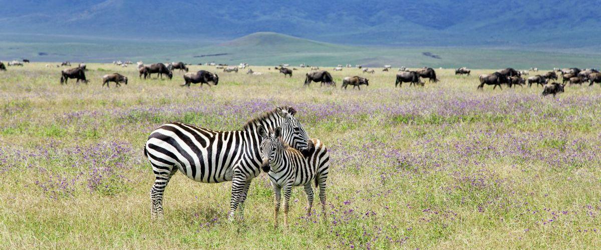 Zebras_Gnus © Fotolia_Tatjana Keisa