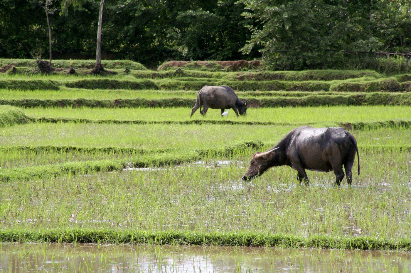 Wasserbüffel (c) Marco Polo Reisen