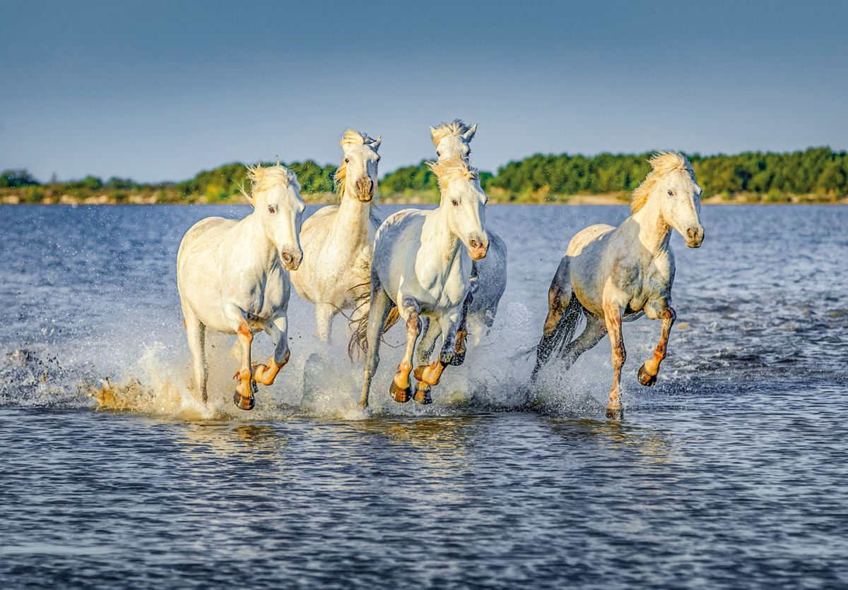White Camargue Horses run at a gallop through the swamps in the Delta of the Rhone in Parc Regional de Camargue in the sunny day - Provence, France