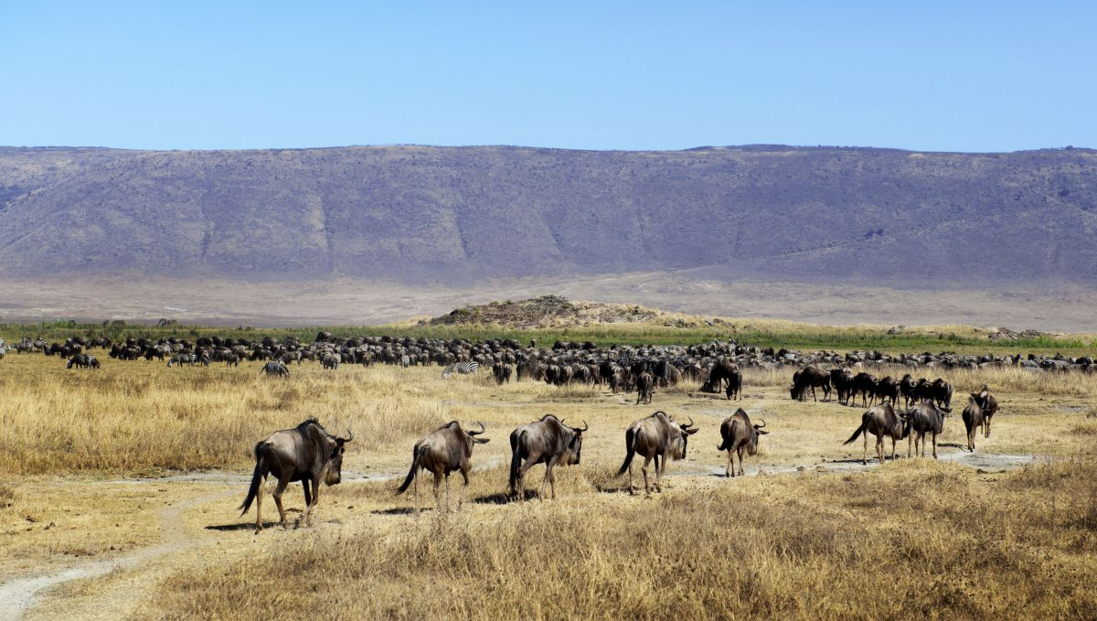 Gnu-Herde © Marco Polo Reisen_ Fotolia_Irena Kofmann