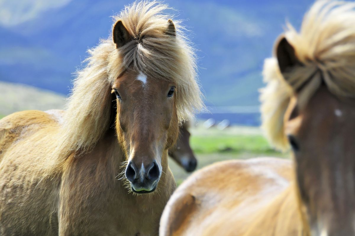 Island Ponys (c) Marco Polo Reisen _Fotolia_Clichedumonde