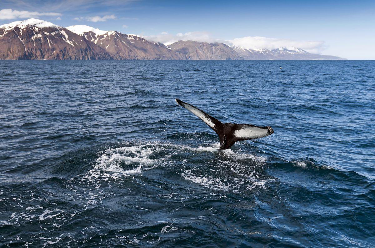 Whale Watching© Marco Polo Reisen_Fotolia_Nazzu