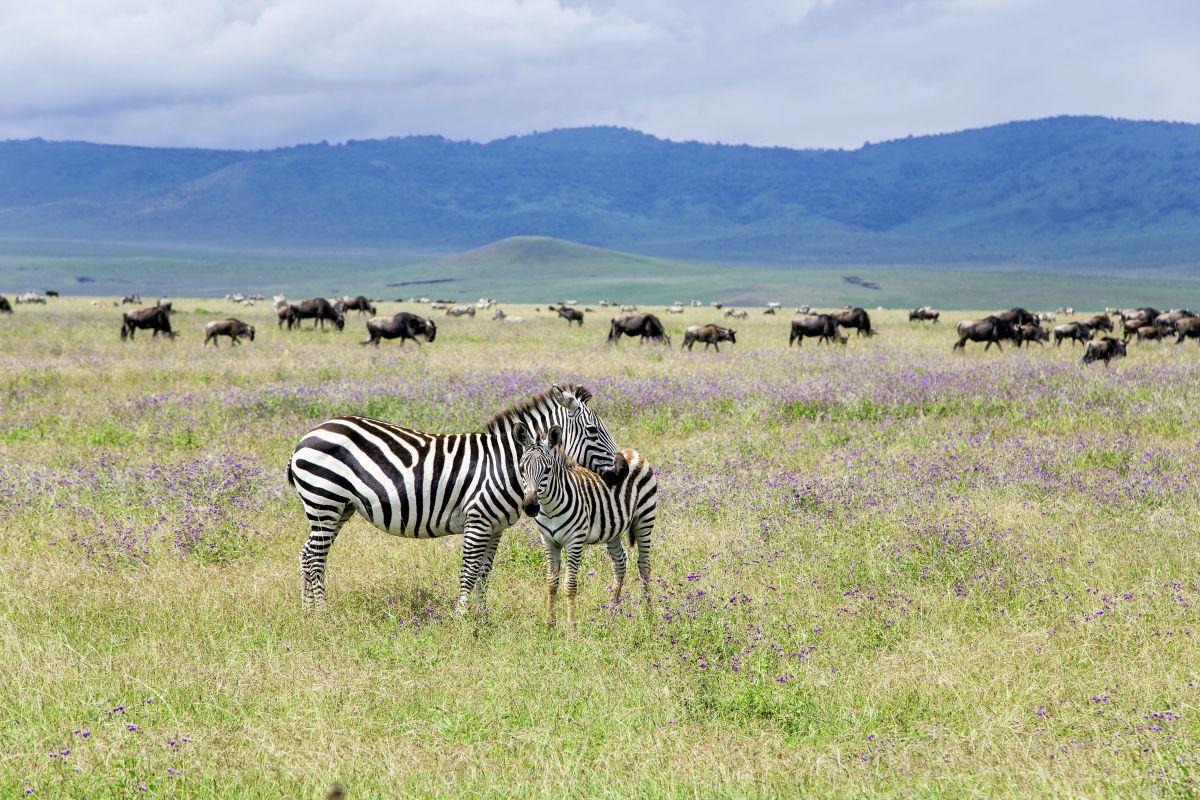 Zebras_Gnus © Marco Polo Reisen_Fotolia_Tatjana Keisa