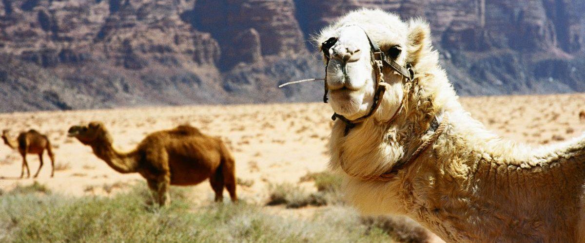Kamele © Marco Polo Reisen_Visit Jordan