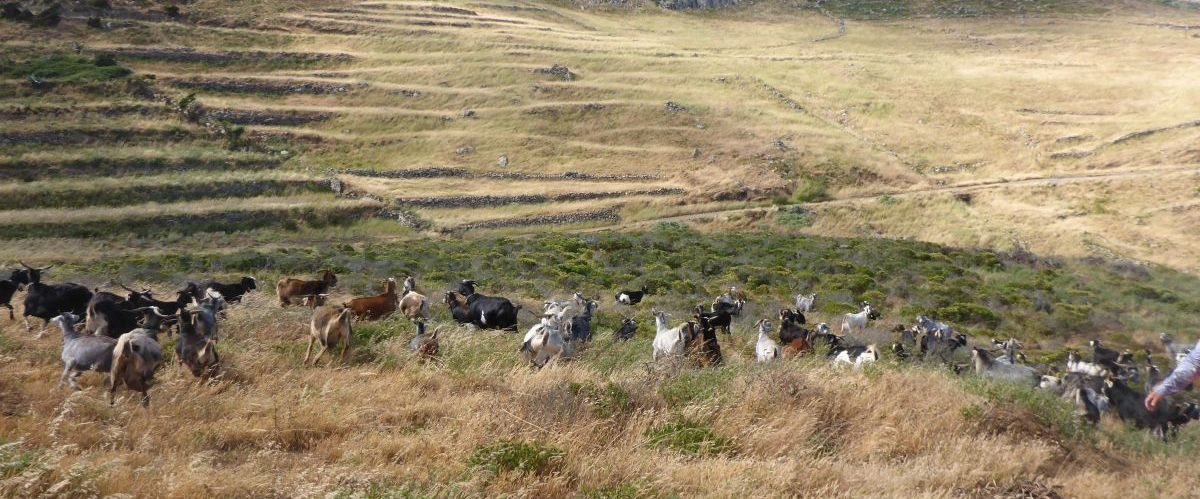 Teneriffa-Landschaft-Ziegen (c) eurohike