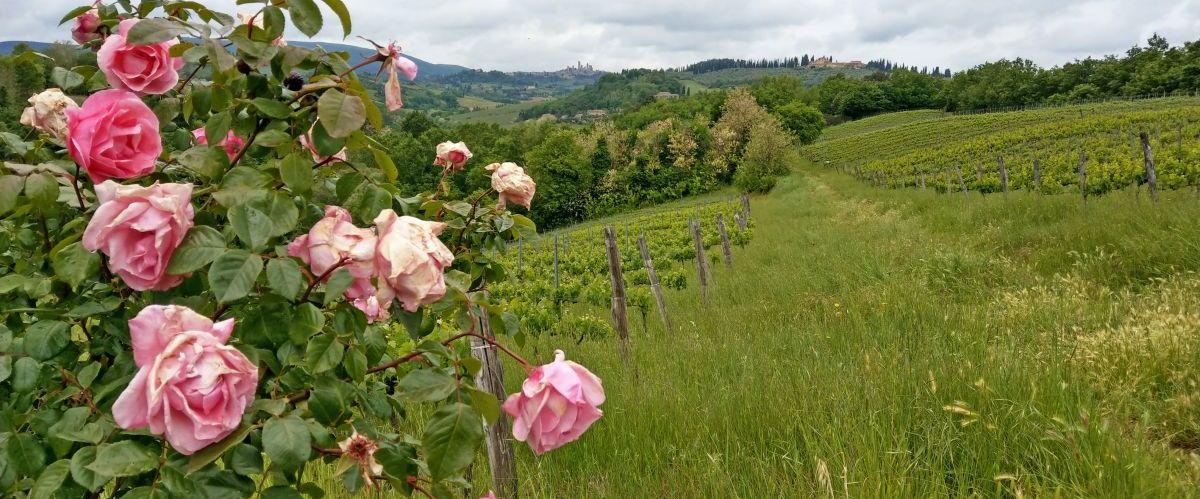 eurohike-wanderreisen-toskana-rosen(c)eurohike