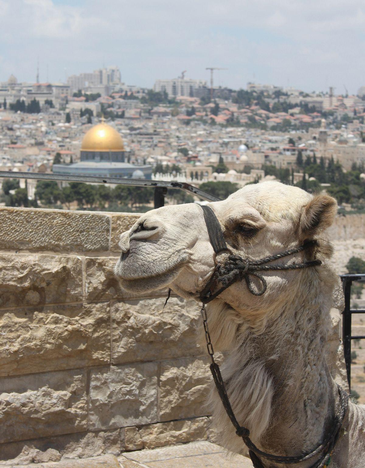 Jerusalem-Kamel_┬®_Klemens Olschewski