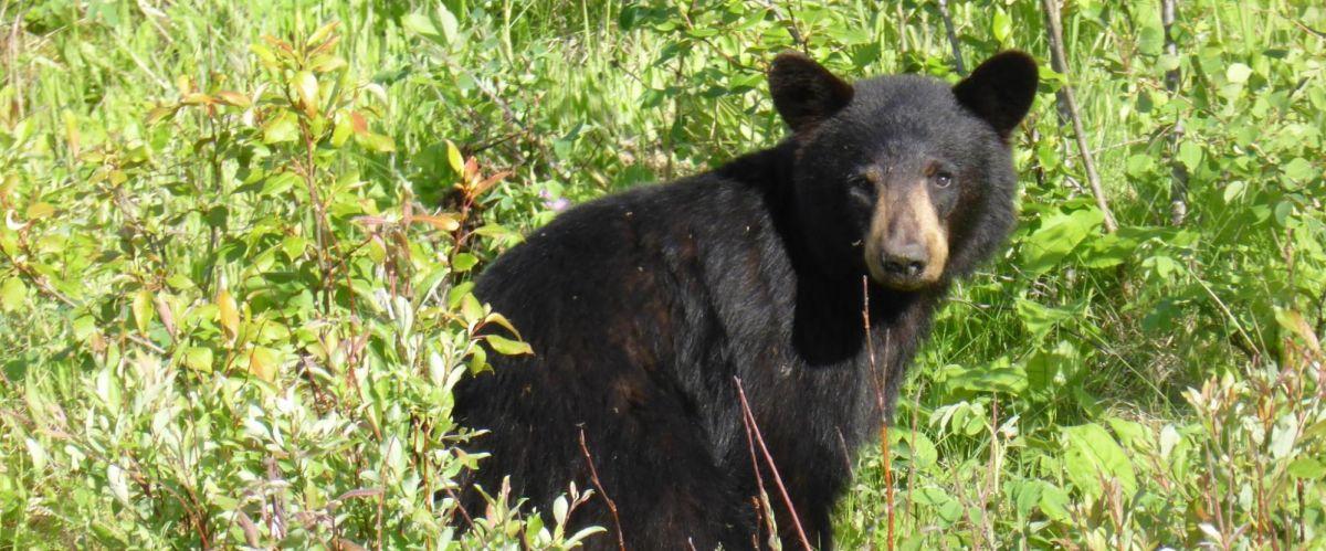 Kanada Bär (c) Pixabay-1