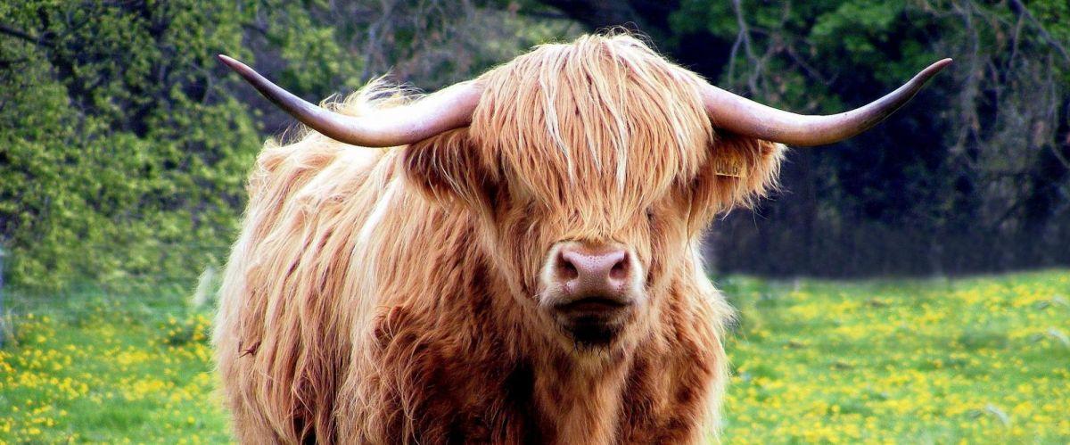 Schottland Highland cow (c) Pixabay
