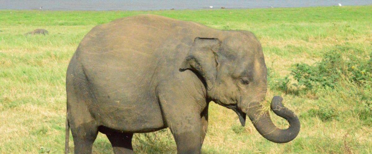 Sri Lanka_Minneriya 2_Copyright Sameera Gunathillake(c)poppe-reisen