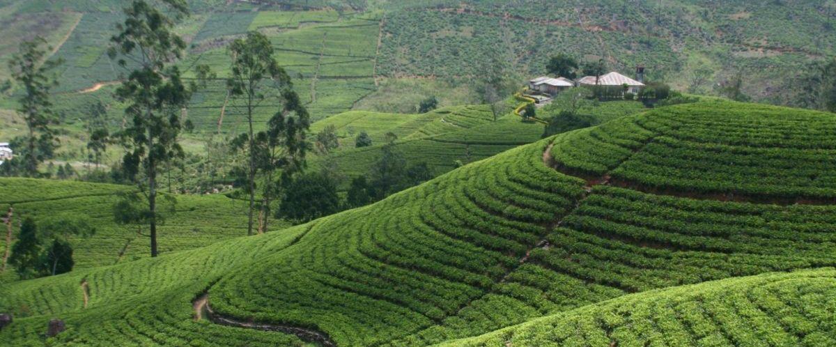 Sri Lanka_Nuwaraeliya(c)poppe-reisen